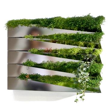 Miroir en Herbe planter