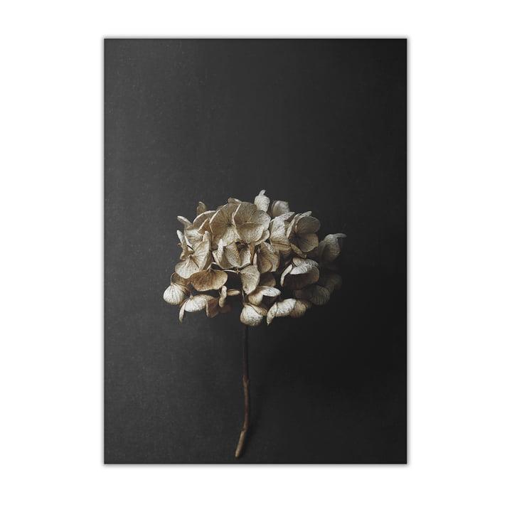 Paper Collective - Still Life 04 (Hydrangea), 50 x 70 cm